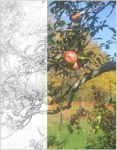 October Apples - A free art practice sketch or coloring page, with a reference photo from TodaysArts.net